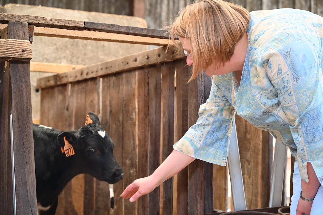 La vache de Louvicamp